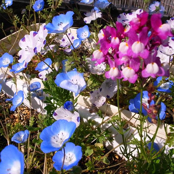 シードペーパー開花